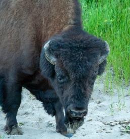 bison (1 of 3)