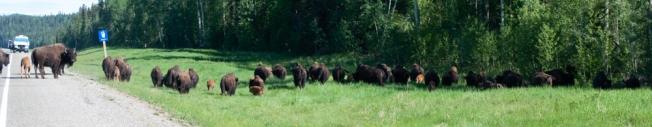 bison (2 of 3)