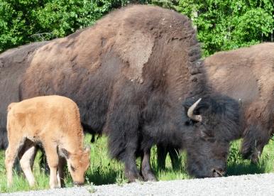 bison (3 of 3)